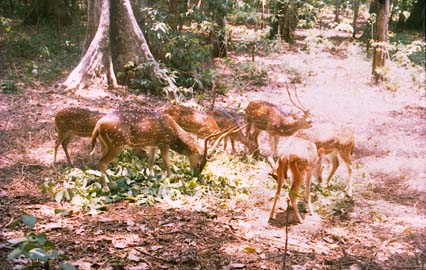 Spotted Deers at Thenmala